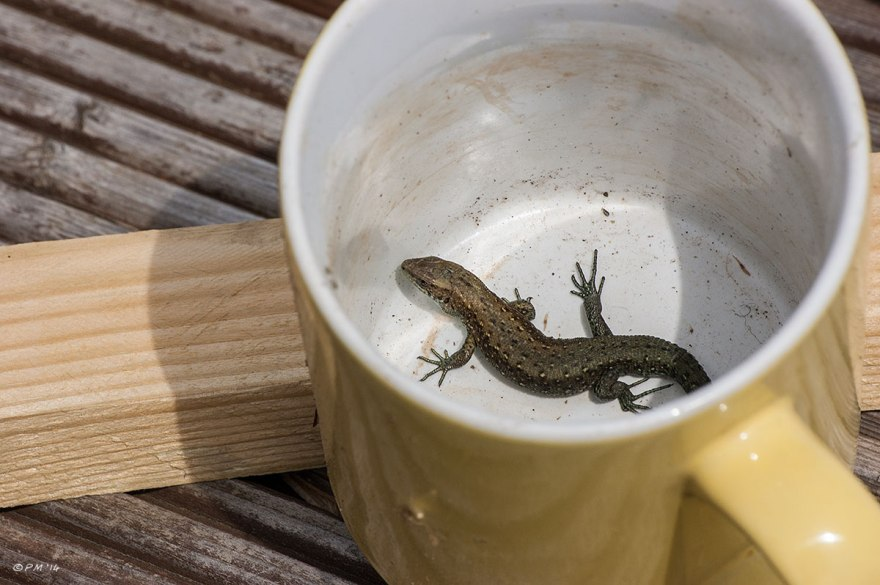 British Common Lizard Male basks in yellow mug 24/4/14