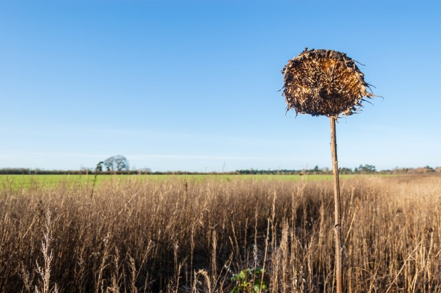 Dead Sunflower standing among dead grasses head with in blue sky  with flat horizon. Marcham And Frilford Oxfordshire UK. Colour Landscape. © P. Maton 2013 Eyeteeth.net