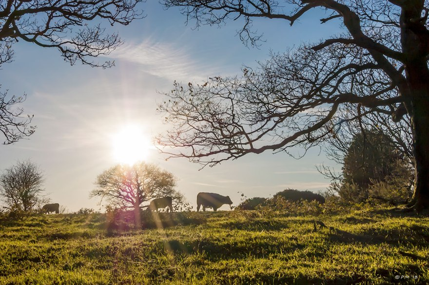 Grazing Cows and trees in silhouette against low sun, rural , Newtimber Hill East Sussex 2013