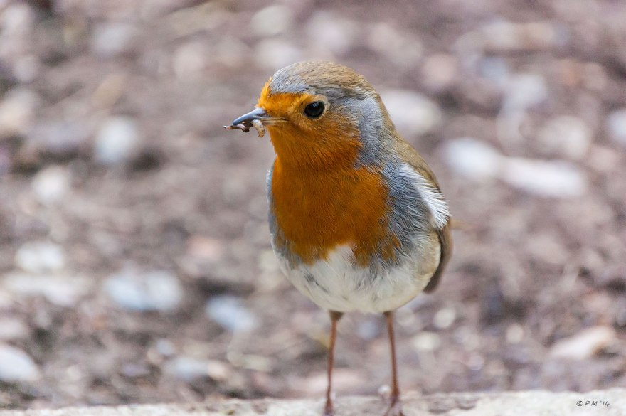 Bird, Nature, Garden, Robin Feeding on grubs closeup profile 2/4/14