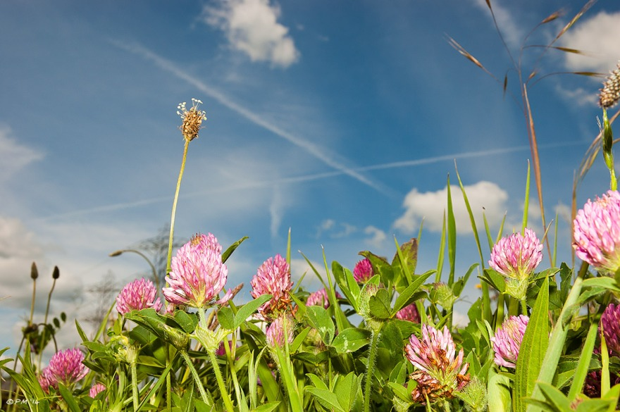 Clover flowers in bright light against blue sky with contrails and clouds, East Sussex. P.Maton eyeteeth.net 2014