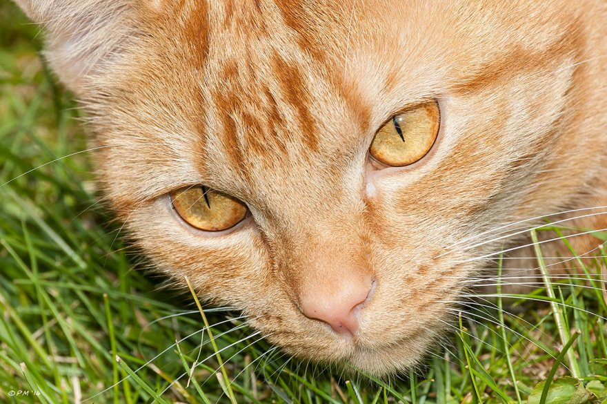 Ginger cat close-up face against green grass, pets, cats, eyeteeth.net 2014