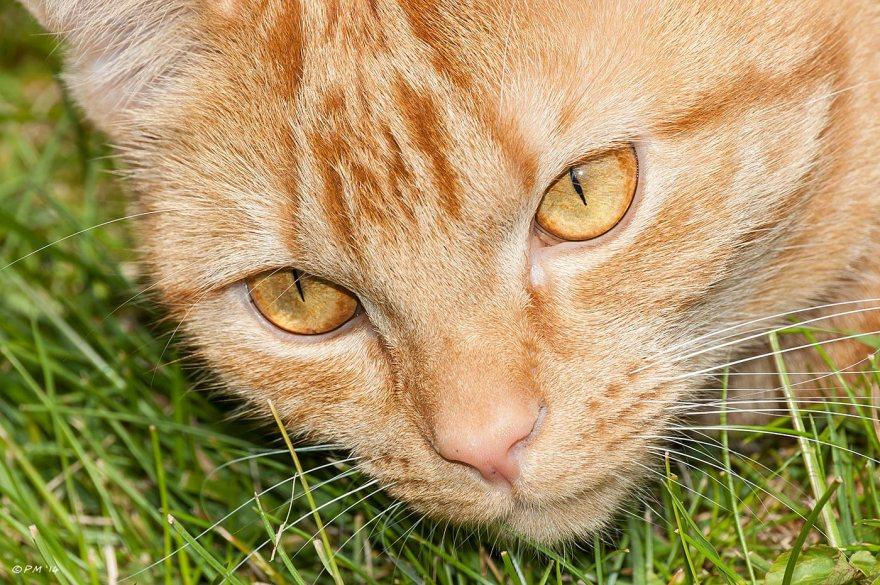 Ginger cat close-up face against green grass, pets, cats, eyeteeth.net 2014