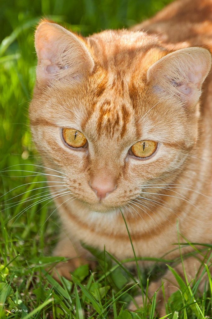 Ginger Cat looking at camera smiling in dappled sunlight, Cats, Pets, eyeteeth.net 2014