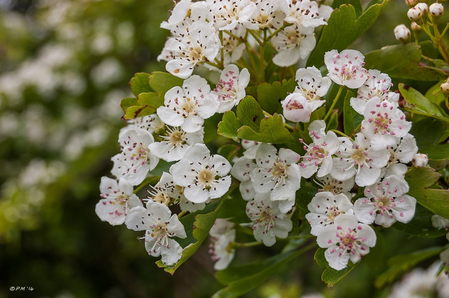 Hawthorn, may blossom Maybush flowers in close-up. eyeteeth.net UK 2014