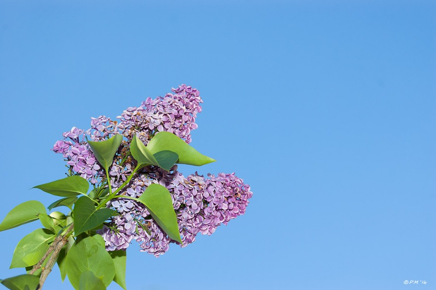 Lilac flowers against clear blue sky vivid colour with flash, hove, sussex eyeteeth.net 2014