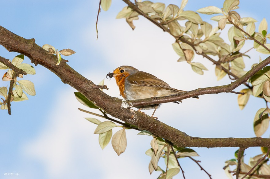 Robin with spider in beak on branch blue sky and clouds in background flash photography nature hove east sussex eyeteeth.net 2014