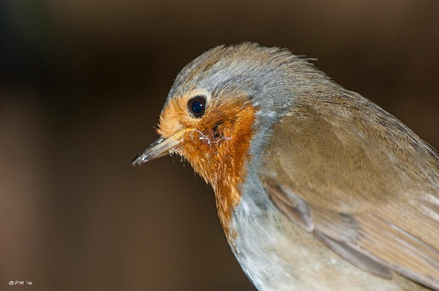 Robin side profile Close-up against brown bokeh , flash, british wildlife, birds, ornithology, eyeteeth.net 2014