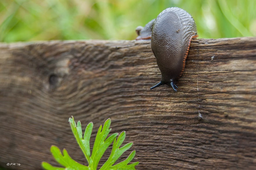 Garden Slug defending over edge of old wooden beam towards leaf PM eyeteeth 2014