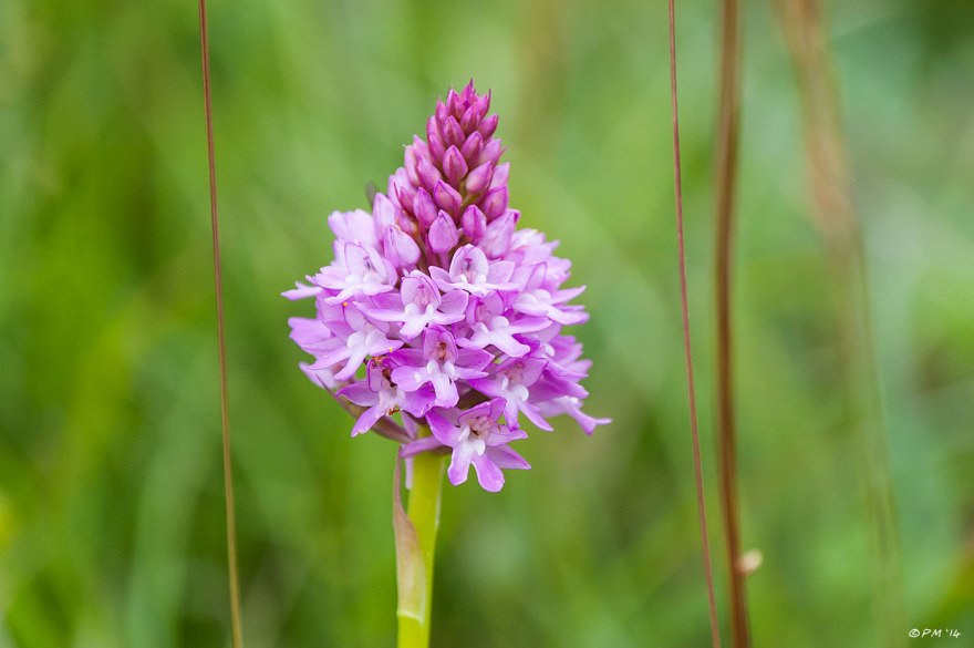 Close up of purple flowering Anacamptis pyramidalis Pyramidal Orchid Chalk Downland Mount Caburn East Sussex 2014 eyeteeth.net