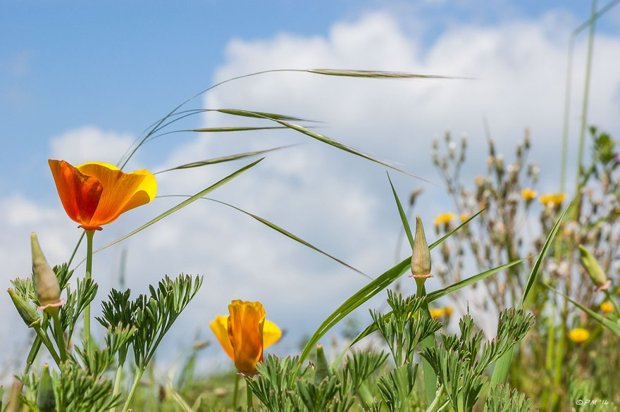 California poppy Flowers and Grass against blue sky and clouds Sussex 5-6-2014 eyeteeth.net