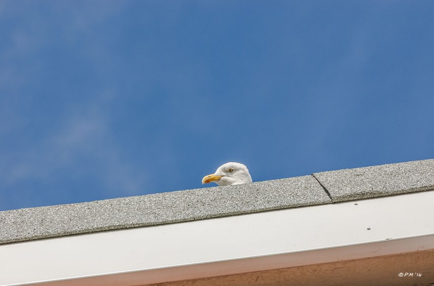 Seagull peeps over edge of flat roof abstract with blue sky Hove Sussex 2014 eyeteeth.net