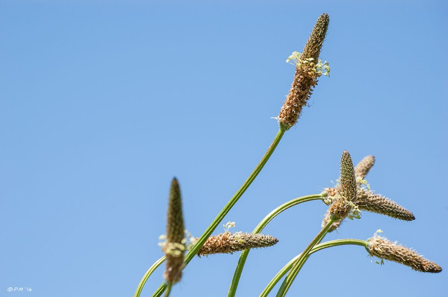 Hoary Plantain Plantago Media flower heads against blue sky 2014 eyeteeth.net