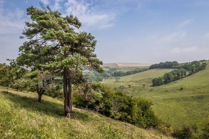 Landscape view from Devil's Dyke to Saddlescombe Farm  with Scott's Pine tree and stunted Oak in foreground South Downs National Park West Sussex UK P.Maton 2014 eyeteeth.net