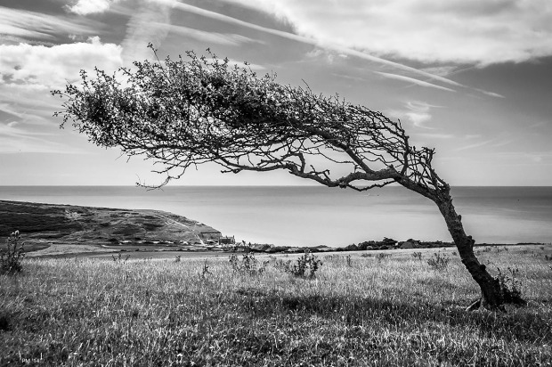 Wind blown Hawthorn bush on open downland with view to Birling Gap and Beachy Head monochrome landscape Seven Sisters Country Park East Sussex UK © P. Maton 2014 eyeteeth.net