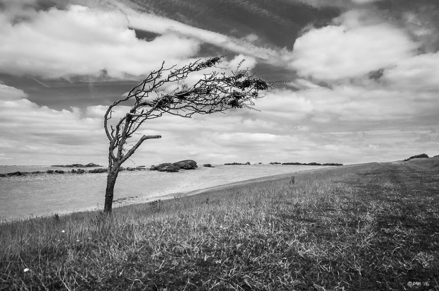 Wind blown Hawthorn bush on open downland monochrome landscape Seven Sisters Country Park East Sussex UK P. Maton 2014 eyeteeth.net