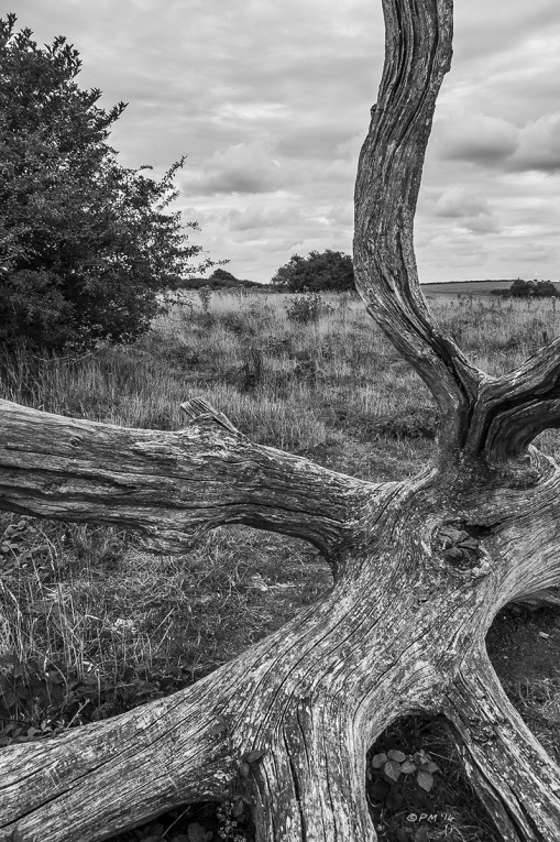 Dead Oak Tree sun bleached lying on Newtimber Hill Saddlescombe South Downs National Park East Sussex monochrome P.Maton 2014 eyeteeth.net