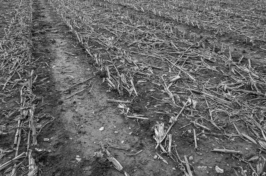 Harvested Maize field with dead stems between the rows, Barkham Mill East Sussex Monochrome, P.Maton 2014 eyeteeth.net