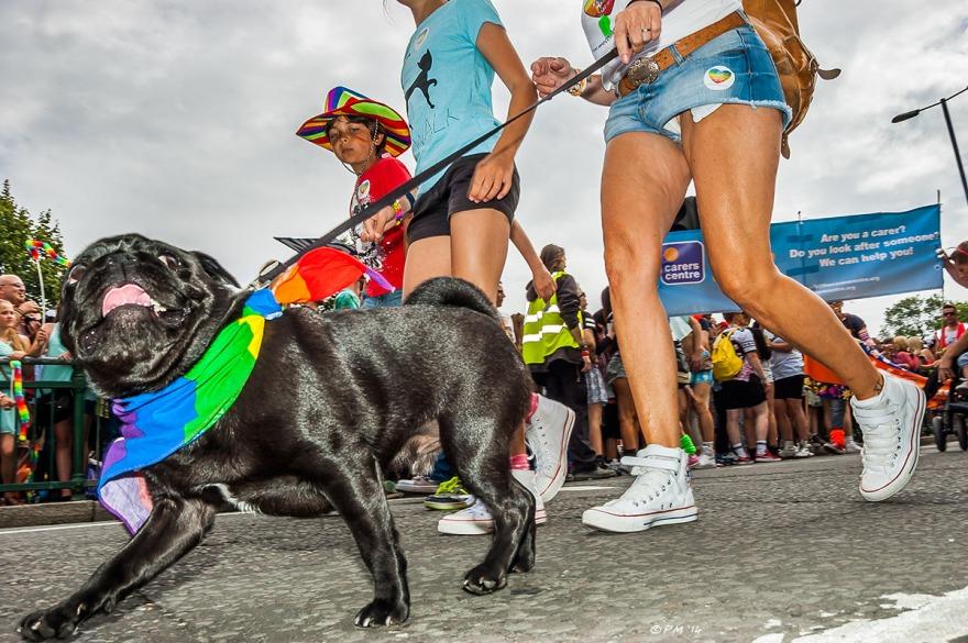 Pug dog in parade at Gay Pride Brighton UK P. Maton 2014