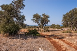 Dirt road snakes through olive trees towards the distant ocean, Patara Turkey. Colour Landscape. P.Maton 2014 eyeteeth.net