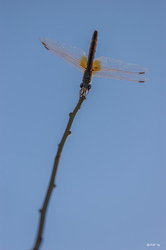 Dragon Fly sits on the end of green shoot against blue sky. Colour Portrait.. Yusufçuk. Patara Turkey. P.Maton 2014 eyeteeth.net