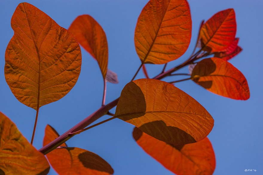 Dark orange coloured leaves on a branch against blue sky. abstract colour landscape. Hove East Sussex UK. P.Maton 2014 eyeteeth.net