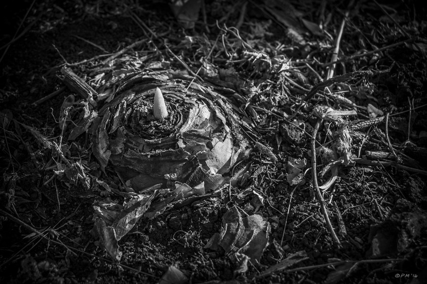Shoot emerging from a bulb in the soil, monochrome detail. Patara, Turkey. P.Maton 04/09/2014 eyeteeth.net