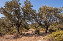 Trail leading between two olive trees with sea in distance. Patara Turkey. Coluur landscape. © P.Maton eyeteeth.net