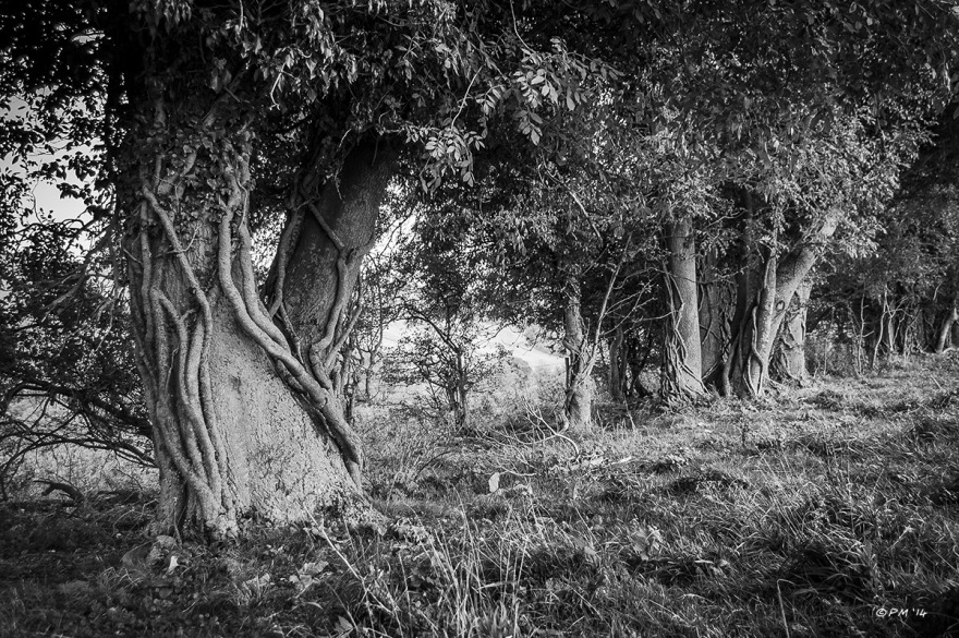 Ash trees in hedgerow clad with Ivy stems near Devils Dyke and Saddlesombe Farm, East Sussex UK. Monochrome Landscape. © P.Maton 2014 eyeteeth.net