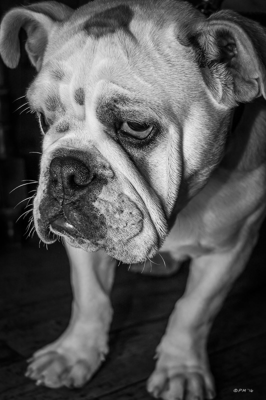 Bulldog puppy with sad expression. Monochrome portrait. © P.Maton 2014 eyeteeth.net