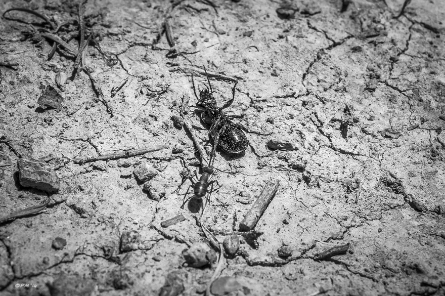 Ant dragging struggling upturned Ground Beetle by back leg across cracked mud. Abbott's Wood East Sussex. Monochrome Landscape. © P. Maton 2014 eyeteeth.net