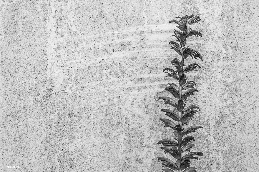 Solitary plant in front of rendered wall showing marks from its motion in the wind. Abstract Monochrome Landscape. © P. Maton 2014 eyeteeth.net