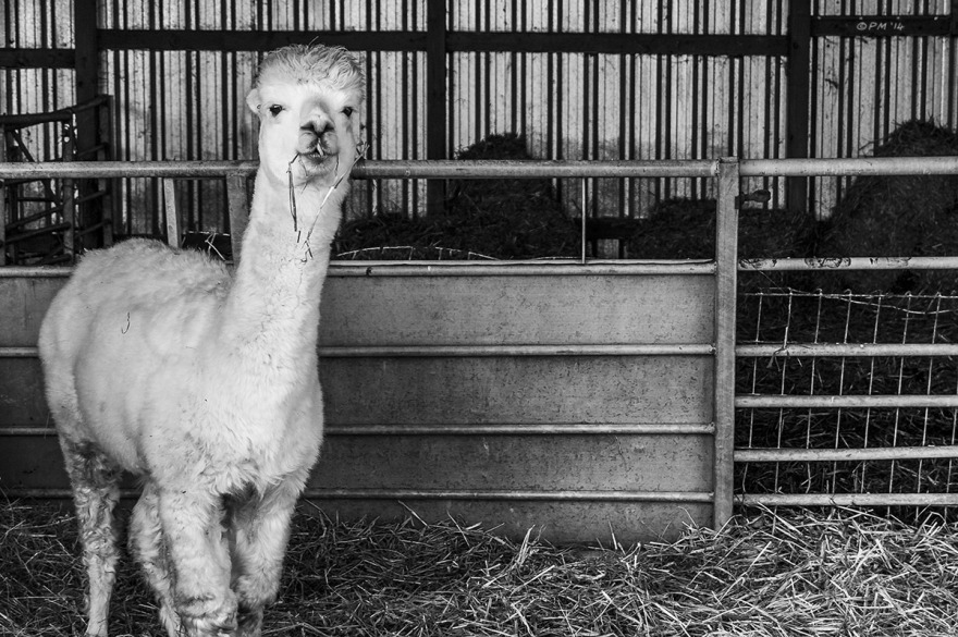 Alpaca standing in barn with straw on floor and metal fencing. Farm East Sussex UK. Monochrome Landscape. © P. Maton 2014 eyeteeth.net