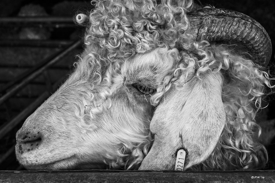 Angora Goat profile closeup of face. Farm East Sussex UK. Monochrome Landscape. © P. Maton 2014 eyeteeth.net