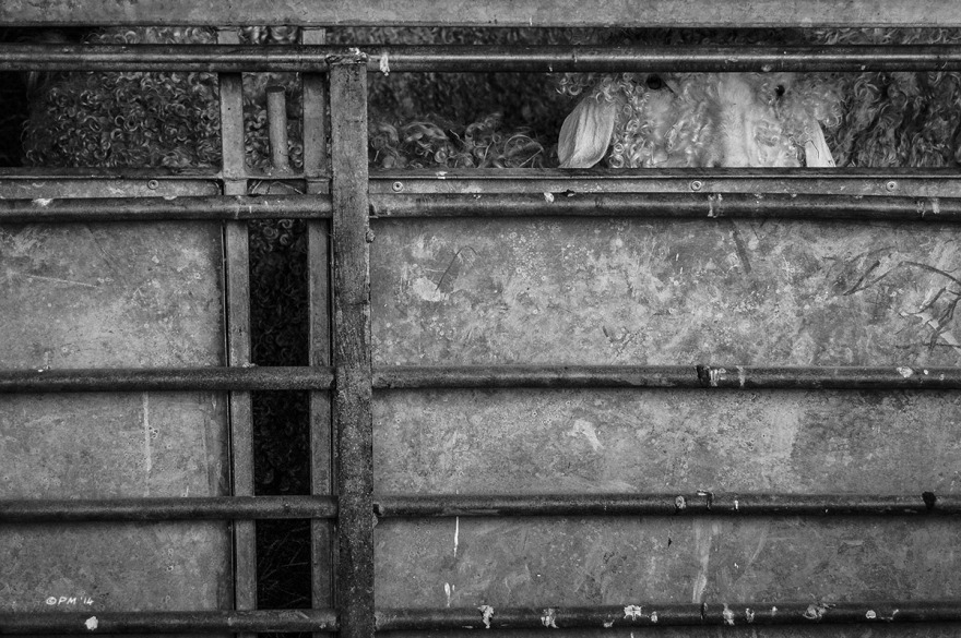 Angora goat looking through slot in metal enclosure fence. Farm,  East Sussex UK. Monochrome Landscape. © P. Maton 2014 eyeteeth.net