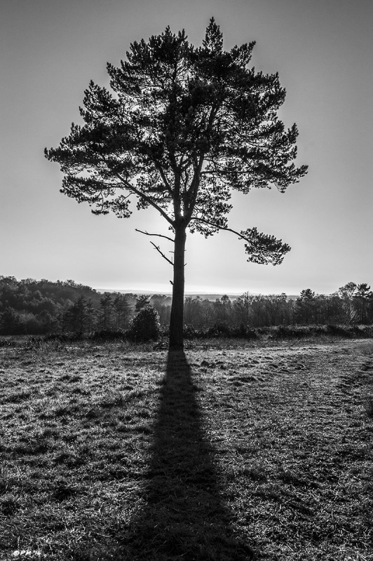 Scotts Pine tree silhouetted against sun cashing shadow towards camera, view across Hight Weald to South Downs, Ashdown Forest East Sussex UK. Monochrome Portrait. © P. Maton 2014 eyeteeth.net