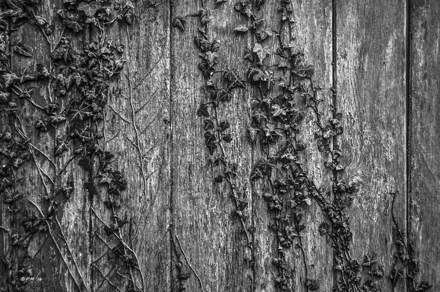 Abandoned stable door with Ivy. Detail. Ford Lane, Frilford Oxfordshire UK. Monochrome Landscape. © P. Maton 2014 eyeteeth.net