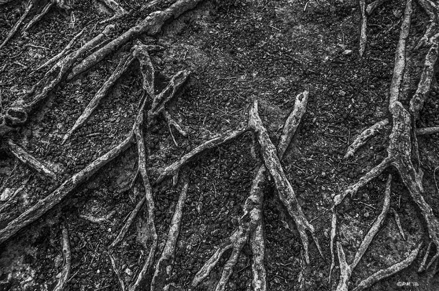 Beech nuts on ground with exposed root system. Chanctonbury Ring, West Sussex UK. Monochrome Landscape. © P. Maton 2015 eyeteeth.net