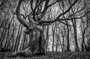 Beech tree with writhing branches resembling a humanoid form looming over viewer surrounded by trees and reaching to the sky. H. P. Lovecraft's Shub-Niggurath . Chanctonbury Ring Hill, West Sussex UK. Monochrome Landscape. © P. Maton 2015 eyeteeth.net