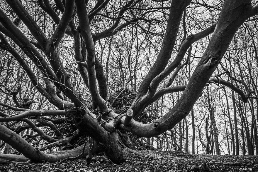 Uprooted Beech Tree with tentacle like branches extending towards viewer, resembling an octopus, Kraken or the head of Cthulhu. Chanctonbury Ring Hill, West Sussex UK. Monochrome Landscape. © P. Maton 2015 eyeteeth.net
