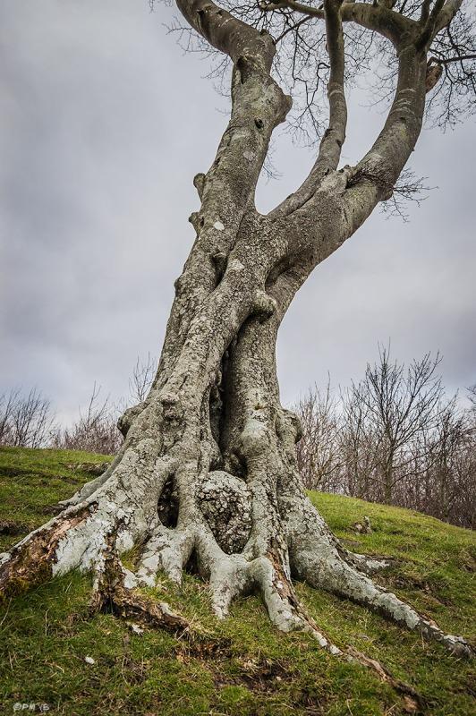 Gnarled Lichen covered Beech tree. Chanctonbury Ring, West Sussex UK. Colour Portrait. © P. Maton 2015 eyeteeth.net