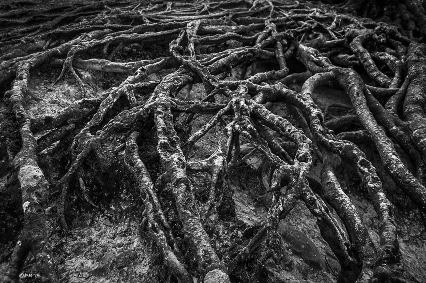 Network of exposed Beech tree roots, Chanctonbury Ring, West Sussex UK. Monochrome Landscape. © P. Maton 2015 eyeteeth.net