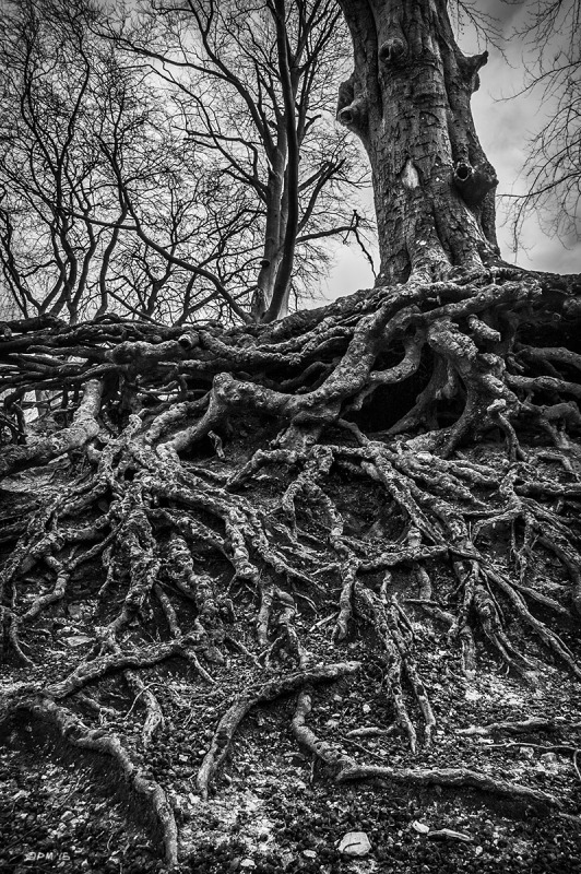 Beech tree with extensive exposed root network, Chanctonbury Ring, West Sussex UK. Monochrome Portrait. © P. Maton 2015 eyeteeth.net