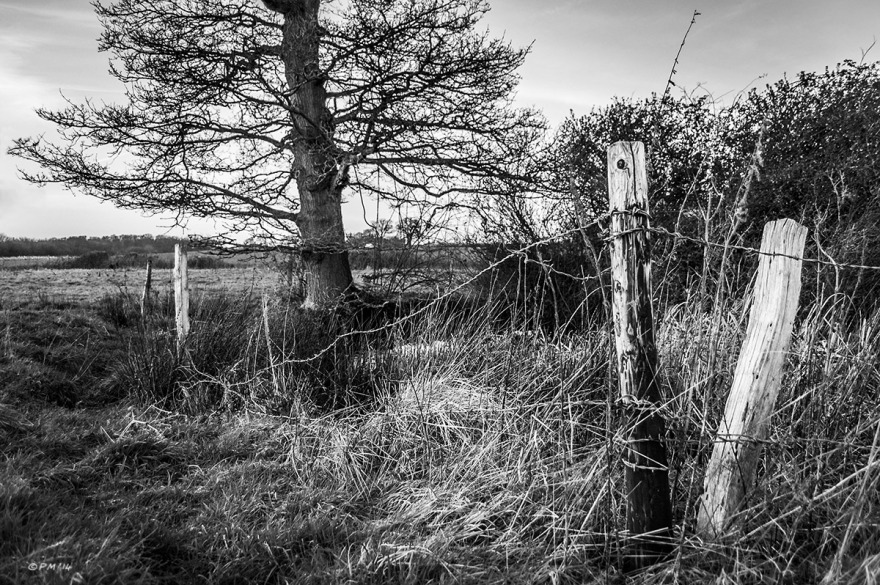Sun bleached fence posts and barbed wire in long grass by pond with Oak tree in background. Mortimer, Berkshire UK. Monochrome Landscape. © P. Maton 2014 eyeteeth.net