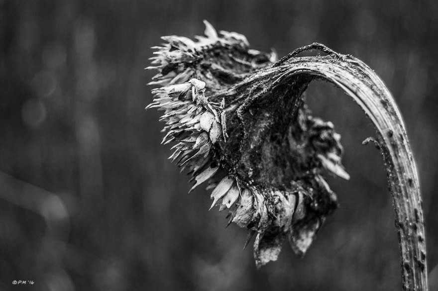 Dead Sunflower head bent over. Detail Closeup. Marcham UK. Monochrome Landscape. © P. Maton 2014 eyeteeth.net