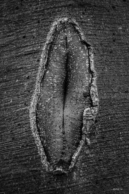 Healing wound in Beech tree bark resembling a vagina. Berkshire. Monochrome Portrait. © P. Maton 2014 eyeteeth.net