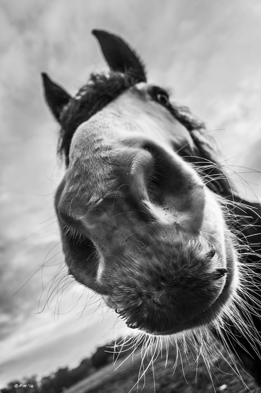 Horse nose close up with whiskers, eye and ears against cloudy sky, Cob. Silchester, Berkshire UK. Monochrome Portrait. © P. Maton 2014 eyeteeth.net