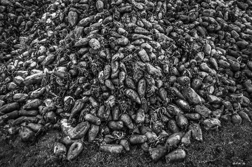 Heap of Mangleworzel Mangle-Worzel. Silchester, Berkshire UK. Monochrome Landscape. © P. Maton 2014 eyeteeth.net