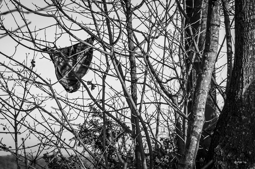 Discarded black knickers (Panties) hanging up in tree branches, Berkshire UK. Monochrome Landscape. © P. Maton 2014 eyeteeth.net