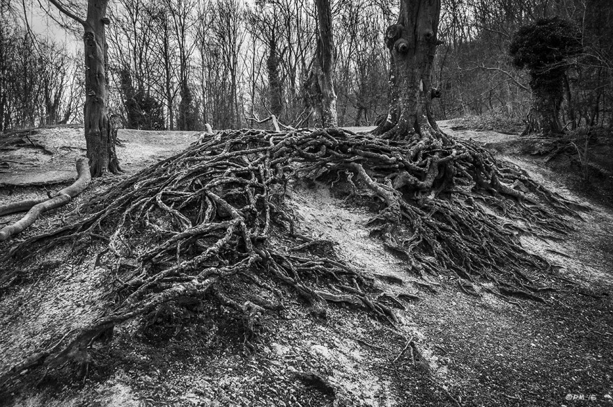 Beech tree with extensive exposed root system, Chanctonbury Ring Hill, West Sussex UK. Monochrome Landscape. © P. Maton 2015 eyeteeth.net